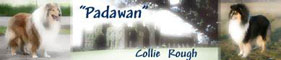 Padawan Collies (FCI)  -  Owczarki Collie
